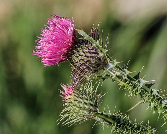 Liver Function - Milk Thistle Plant